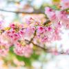 桜が咲いてきたよ!@2019関西