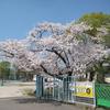 佐賀県総合運動場の桜