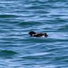 6月になっても内湾で見かける波崎漁港のウミスズメ