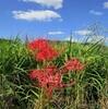 彼岸花を訪ねて……行き止まりの道路に消えた田圃と彼岸花の名所
