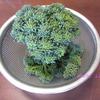 ブロッコリーを収穫しました!  I picked broccoli!