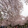 20160402_お花見は新宿御苑が定番化してきました。