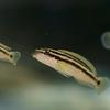 ジュリドクロミス・オルナータス Julidochromis ornatus