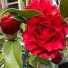 さつま紅 開花