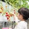 イチゴ狩り 関東最大級の越谷いちごタウンでお腹いっぱい食べちゃおう!
