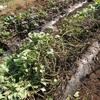 サツマイモ@安納芋 収穫準備
