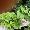 セイタカヤマシャクヤクの開花