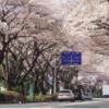 「西門夜ざくらまつり」3月30日(土)31日(日)開催!