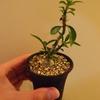 Pachypodium succulentum 実生株⑥