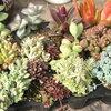多肉植物の値段~!エケベリアことぶきが人気!