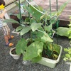 食育:家庭菜園(秋なす)①