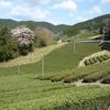 春爛漫 茶畑と桜のある景色