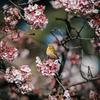 会る見を桜寒20200202寒桜を見る会