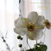 秋明菊(シュウメイギク)Japanese anemone