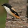 Tips Melatih Burung Pentet Supaya Pintar Gacor