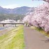 南足柄市 幸せ道の春めき桜2020