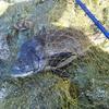 落とし込み専用竿で初の釣果・・・今回の餌はバフンウニ?