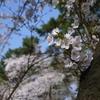 桜と我が子