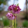 クリローが花盛り:冬季無料のあいやまガーデン