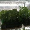 枝豆がワサワサと、、スペースが足りない。。