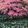 モネの池 赤と緑