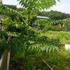 タラの芽を天ぷらに♪きっかけは・・・。