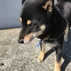 黒柴犬の「てんちゃん」