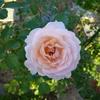 秋のバラと夏の花
