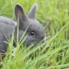 ミニウサギは本当にミニなのか、調べてみた。