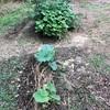 初心者の家庭菜園 収穫まであと少しから中々進まない