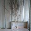 ~樹形が美しいシラカバのオブジェ~