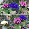 💐🌷🌹🌸春日井市都市緑化植物園(温室編)🥀🌺🌼植替えから一週間、春のお花が満開です。