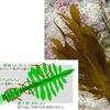 お湯に入れれば緑色,分類は難しい モ(藻)&ワカメ(稚海藻,和可米)/万葉集 たまも かる,みぬめを すぎて,なつくさの,のじまの さきに,ふね ちかづきぬ 柿本人麻呂