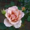 * 今朝の明日荷の庭の1輪は銅色の薔薇、ジュリアです。
