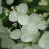 西国十番札所「三室戸寺」小雨の中のハス 2019