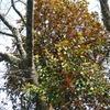 オオバヤドリギの花  どれが木?どこに花?