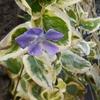 紫の花、ツルニチソウ