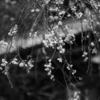今日の1枚 #20 雨に濡れる桜