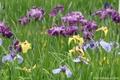 再び、横須賀しょうぶ園へ☆今が見頃の花菖蒲を見てきました