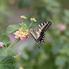 9/22/2016・秋分の日の蝶たち 〜 散歩道に新しい顔ぶれが増えてきました