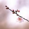 冬至に咲き始めたた梅:紅冬至