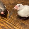 文鳥の種類と表す言葉についてPadda oryzivora ?Lonchura oryzivora?Java sparrow