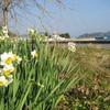 寒風に 耐えて 麗し 水仙花