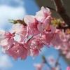 早咲きの桜、河津桜たより