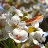 梨の花 フリー素材