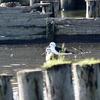 手賀沼に飛来したセイタカシギ