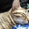 【猫ブログ】サラちゃんの日常 2