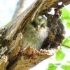 野鳥日記 2020年5月 野幌森林公園