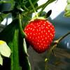 イチゴ狩り!@市が尾、徳江いちご農園