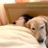 母ちゃんと一緒に添い寝するゴールデンレトリバー